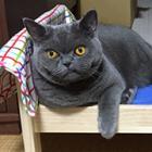 専用ベッドでくつろぐクールな猫 ! ブリティッシュ・ショートヘアの鞠男(まり・お)