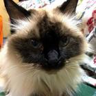 青い目の猫に一目ぼれして16年、ラグドールのシャネルは甘えんぼう(オンリーわん&おんりーニャン)