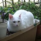 ときどき外の風に吹かれてベランダでくつろぐのが大好き! 元野良猫のハク