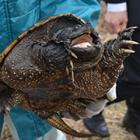 輸入されたペットのカミツキガメ、捨てられ大量繁殖?…駆除するのはカメ専門の県庁職員