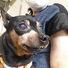 ある日突然、愛犬の目が真っ赤に…! 久しぶりの病院通い