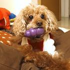 脳トレにも運動にもなる優れものオモチャに、愛犬まっしぐら!