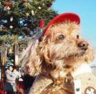 愛犬とクリスマス! サンタ姿、かわいく撮影するには?