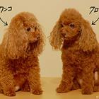 怖いほど似てる! 愛犬を再現する造型「クローンワンコ」
