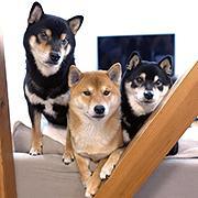 同じ柴犬でも個性それぞれ「柴犬3兄弟」