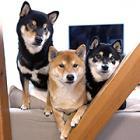 同じ柴犬でも個性それぞれ 仲良し「柴犬3兄弟 ひなあおそら」