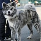 秋田犬が国内より海外で大人気! 中国では富裕層のシンボル