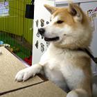 秋田犬人気、世界を駆ける 地元「将来はペットの聖地に…」