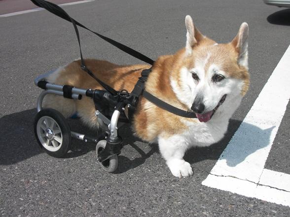 変性性脊髄症を発症したウェルシュ・コーギー。後ろ脚だけまひしている状態だが、いずれ前脚もまひし、この歩行具は使えなくなる=大和修・鹿児島大教授提供