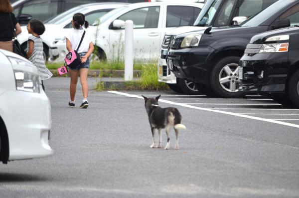 駐車場を歩く家族連れを見つめる野犬=山口県周南市