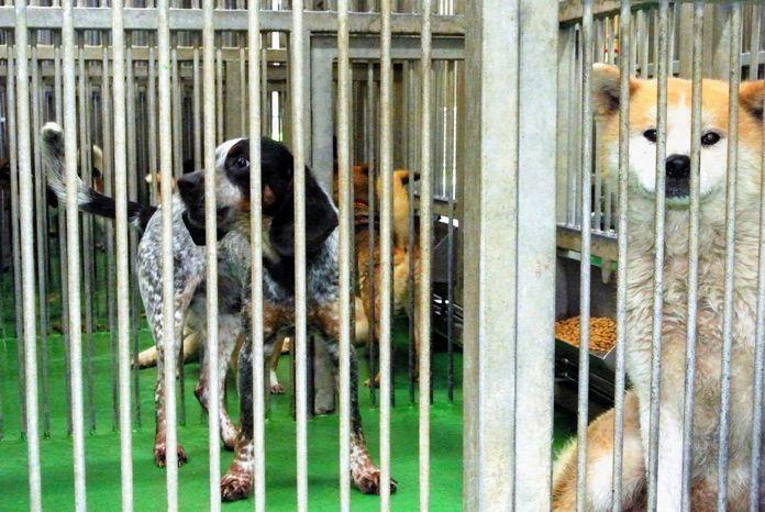 飼い主から飼育放棄された犬たち。大型犬は新たな飼い主を見つけるのが難しい。高齢者が飼うのに向かないことは、言うまでもない=鹿児島県姶良動物管理所