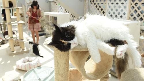 シェルターを兼ねた保護猫カフェで悠々と眠るネコ。ケージの外にいるネコには自由に触れることができる=東京都豊島区、井手さゆり撮影