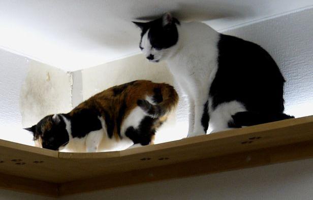 猫たちお気に入りのキャットウォーク