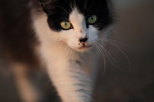 星野俊光さんの写真展「海猫夢幻」から。数年来顔見知りの猫が、まっすぐこちらへ歩いてくるのを400ミリの望遠で狙った ©星野俊光