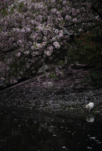 写真2)水面を見つめる猫 ©星野俊光