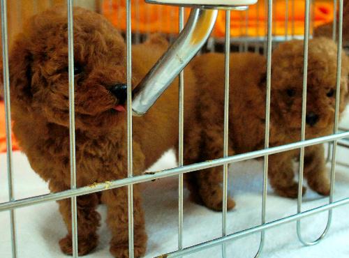 日本の法律では現在、生後45日をすぎた子犬や子猫なら販売できる。一方、欧米先進国の多くで「8週齢規制」が常識だ(本文と写真は関係ありません)