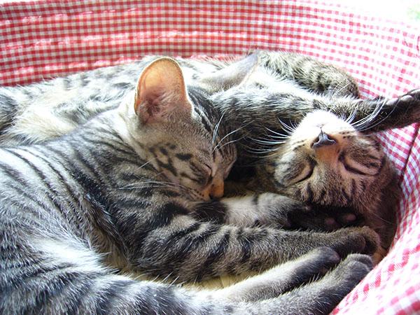猫の時からきょうだい2頭で飼うのがおすすめ