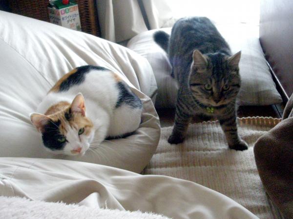 清水さん宅のはなびちゃん(左・7歳♀)とあくびちゃん(6歳♀)。ほかにも猫が3匹いて、雑貨のモデルになっています