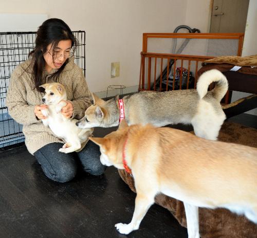石川ドッグレスキューの「預かりスタッフ」で自宅で犬たちを世話する宮武珠世さん=金沢市弥生3丁目