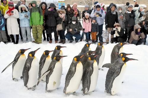 愛らしいペンギンの散歩を大勢の来園者が見つめていた=2016年12月、北海道旭川市の旭山動物園