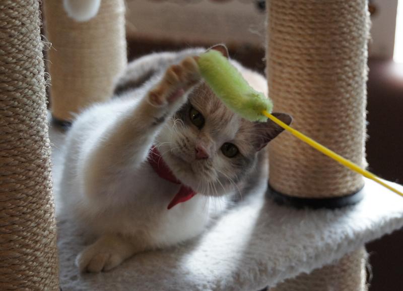 猫じゃらしで遊ぶドロップ