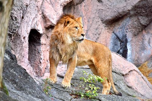 治療前のソラ。3歳なのにたてがみが短く、四肢も太い「幼児」体形だ=いずれも東山動植物園提供