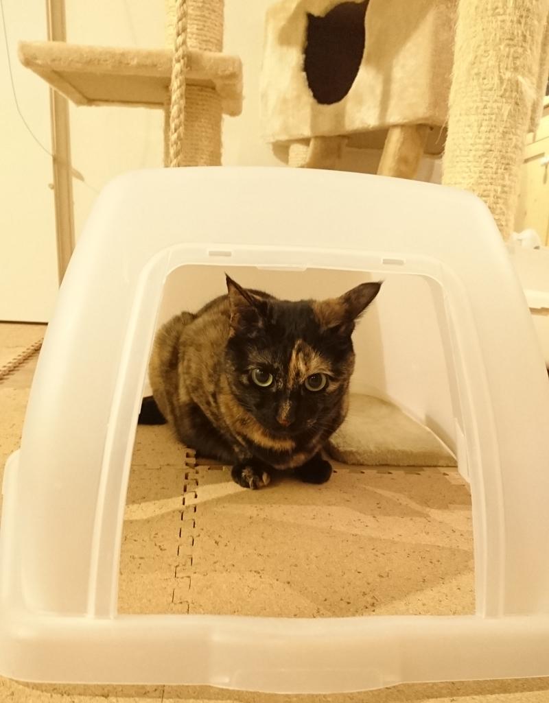 掃除中の猫トイレのカバーの中に入るあんず