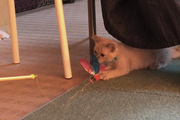 「こねこ塾」に参加し、おもちゃで遊ぶ子猫