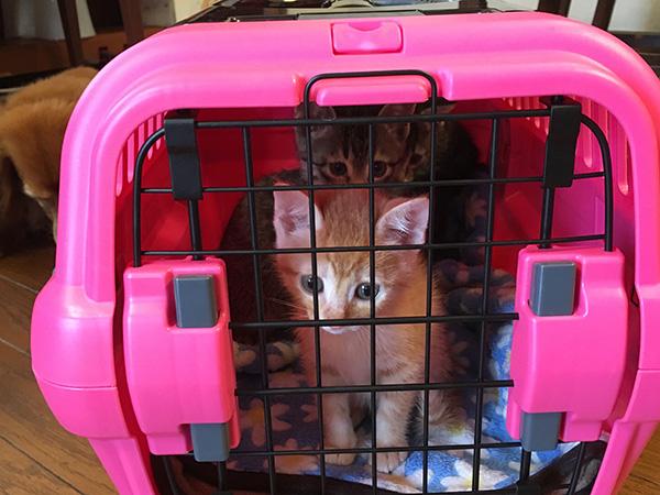 キャリーケースに入った猫(もみの木動物病院 こねこ塾で)