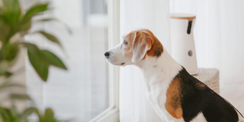 愛犬のお留守番は「後ろめたい」「心配」…