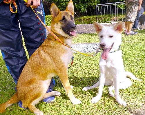 徳島県が災害救助犬に認定した玄(左)とモナカ=徳島県動物愛護管理センター提供
