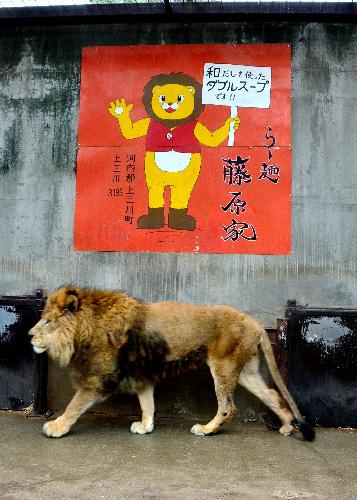 おじいちゃんライオンのリオン。地元ラーメン店などから餌代を支援してもらっている=3月21日、宇都宮市の宇都宮動物園