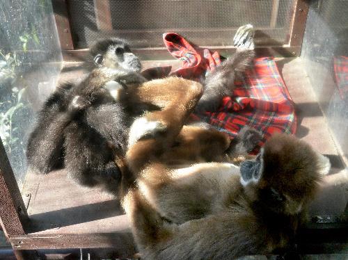 ひなたぼっこをしてくつろぐシロテテナガザルのナポ(左)とモカ=3月22日、東京都台東区の上野動物園