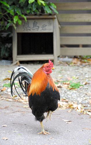 県鳥君と小屋。カメラを向けると片脚を上げてポーズを取ってくれた=高知市