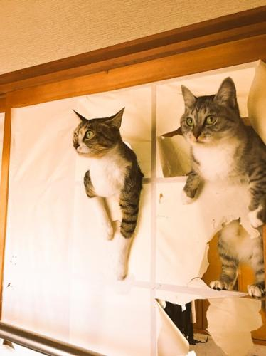 サバ身(右)とトラ身(左) 通称サバトラ 「ココニャさんちの障子破り猫軍団」より