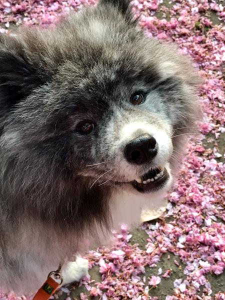 ピンクの花が似合う秋田美人