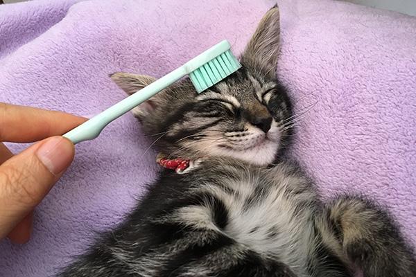 歯ブラシでやさしくブラッシングしてもらう谷ラミちゃん