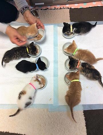 めいめいの皿からえさを食べる子猫