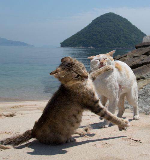 恋の季節、しつこい雄猫にパンチをする島の雌猫(写真=沖昌之)