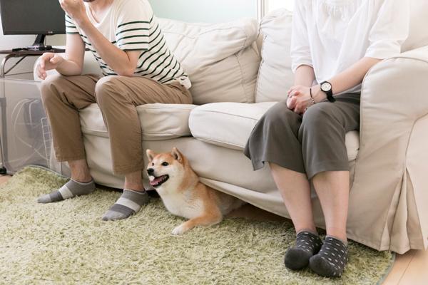 取材中は良い子で後藤さんご夫妻が座るソファの下に