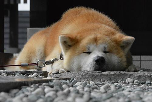 居眠りする姿もかわいい武家丸=仙北市角館町