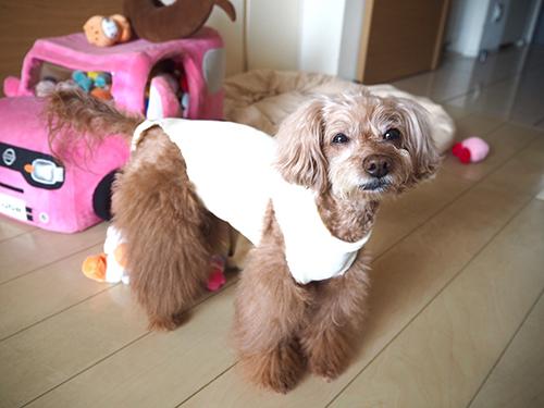 獣医さんお手製の術後服。ハイネックで意外とカワイイ。
