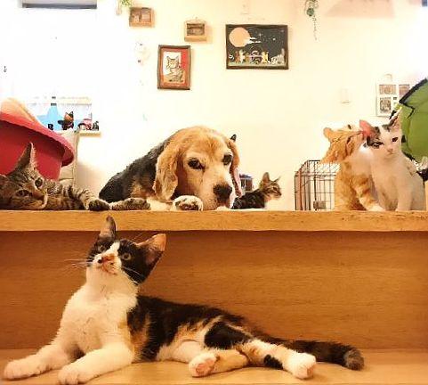 居間でくつろぎ、新たな家族を待つ保護動物たち、手前の三毛が「ろうそく」(神保枝美さん撮影)