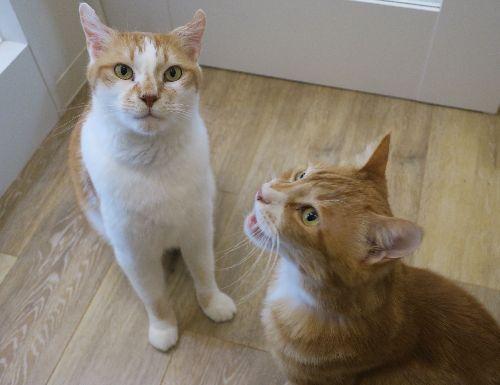 アニマルライフの猫譲渡コーナーにいた頃(右のウニも新たな家族の元で幸福になった)