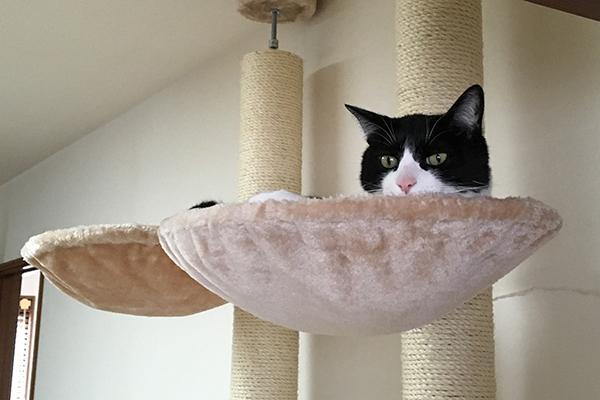 わが家の愛猫「ねこず」、9歳のオス猫です。