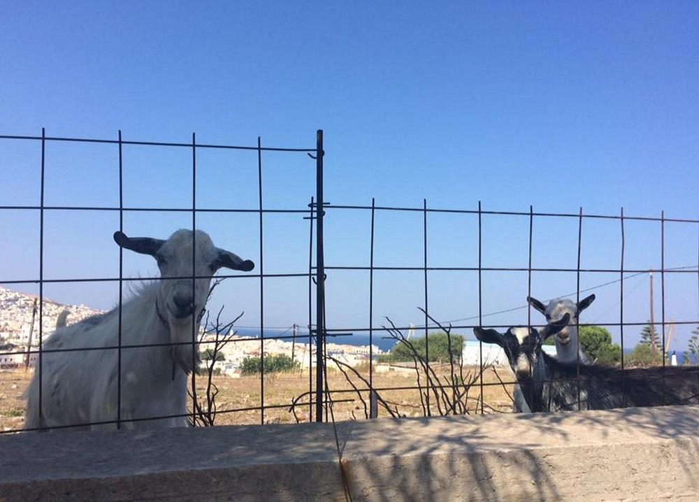 民家の間の空き地に放し飼いされるヤギ (シロス島)