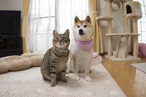 猫のぎんなんと柴犬のかぼす