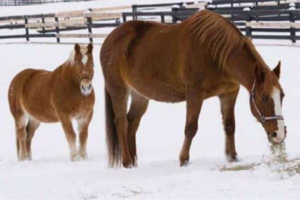 妊娠していたバーバラとフィオーナは2004年、カナダのマニトバ州のPMU牧場から助け出された (c) Jim Craner/Equine Adovocates