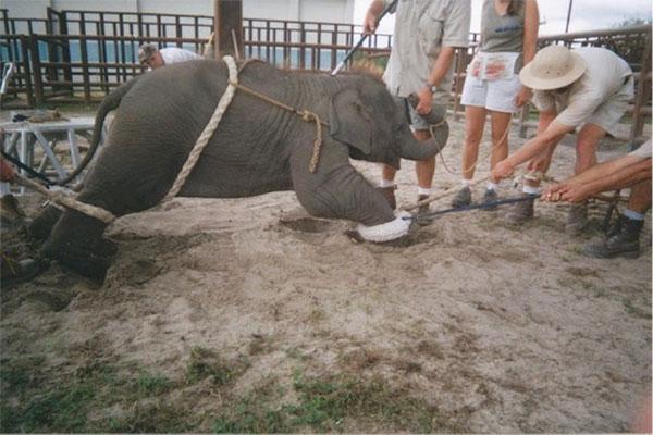 リングリング・ブラザーズのゾウ管理センターで「訓練」を受けさせられている子ゾ (c) Sam Haddock (courtesy of PETA)