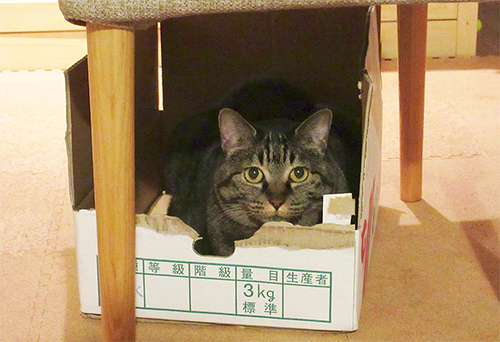 最近お気に入りの段ボール基地に入る猫のモモ